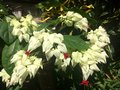 White flower in the garden from chiangmai thailand Royalty Free Stock Image