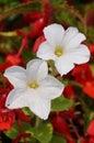 White flower garden a in full bloom on a sunny summer day Stock Photo