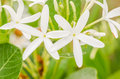 White flower in the garden or nature park thailand Stock Photo