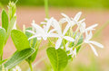 White flower in the garden or nature park thailand Stock Photography
