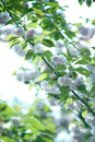White flower with green leaf blooming branch of plum tree on background Royalty Free Stock Photo