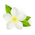 White flower with green leaves isolated on Royalty Free Stock Photo