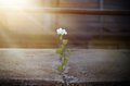 White flower growing on crack street in sunbeam Royalty Free Stock Photo