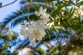 White flower in Kavros village, Crete