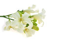 White flower orang jessamine murraya paniculata or china box tree andaman satinwood isolated on a background Royalty Free Stock Photography