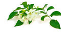 White flower orang jessamine murraya paniculata or china box tree andaman satinwood isolated on a background Royalty Free Stock Image