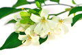 White flower orang jessamine murraya paniculata or china box tree andaman satinwood isolated on a background Stock Images