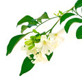 White flower orang jessamine murraya paniculata or china box tree andaman satinwood isolated on a background Royalty Free Stock Photo