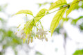 White flower orange jessamine star bokeh Royalty Free Stock Photography