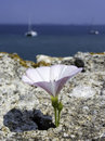 White flower in the rock at sea background Royalty Free Stock Image