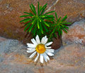 White flower on rock stock image Royalty Free Stock Image