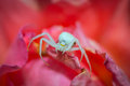 White flower spider resting on a rose Royalty Free Stock Photo