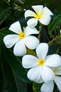 White flower in thailand lan thom flower beautiful Stock Photos