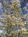 White flower tree spring time flowertree Stock Photos