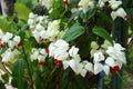 White flower vines on the tree Stock Photo