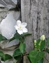 White flower on wooden background blooming in the garden Stock Photo