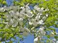 White Flowering Dogwood or Cornus florida on blue sky background, Royalty Free Stock Photo