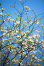 White flowering dogwood tree in bloom in blue sky Royalty Free Stock Photo