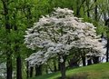 White flowering Dogwood tree (Cornus florida) Royalty Free Stock Photo