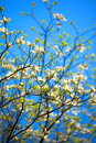 White flowering dogwood tree cornus florida in bloom in the blue sky Royalty Free Stock Image