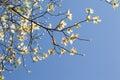 White flowering dogwood tree (Cornus florida) in bloom in blue sky Royalty Free Stock Photo