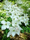 White Flowering Dogwood Royalty Free Stock Photo