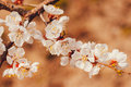 White flowers on the apricot Royalty Free Stock Photo