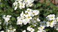 White flowers arabis alpina caucasica summer Royalty Free Stock Photography