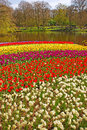 White flowers and bed of colorful tulips in keukenhof garden europe Royalty Free Stock Images
