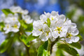 White Flowers Blooming  Royalty Free Stock Photos