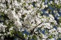 White flowers of blooming cherry plum Royalty Free Stock Photo