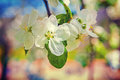 White flowers of blossoming apple tree with blurred background instagram stile Royalty Free Stock Photo