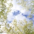 White flowers on blue sky background and clouds, square Royalty Free Stock Photo