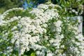 Photo of white flowers on a bush in a garder