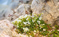 White flowers in caucasus mountains reserve growing on stones Royalty Free Stock Photography