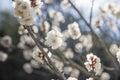 White Flowers Of Cherry Plum T...