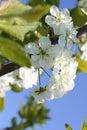 White flowers of cherry spring photo