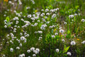 White flowers of cotton grass in taimyr tundra Stock Image