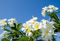 White flowers frangipani plumeria against blue sky Royalty Free Stock Image