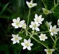 White flowers Gagea