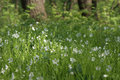 White flowers among green grass in a clearing in wild nature Royalty Free Stock Photo