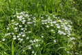 White flowers in green grass. Summer snowflake. Royalty Free Stock Photo