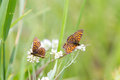 White flowers, High Brown Fritillary Butterflies Stock Photos