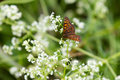 White flowers with High Brown Fritillary Butterfly Royalty Free Stock Image