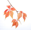 Branch of autumn leaves isolated on a white background. Parthenocissus quinquefolia. studio shot Royalty Free Stock Photo