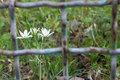 White flowers in jail. Royalty Free Stock Photo