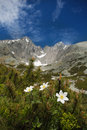 White flowers and  Lomnica Peak