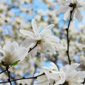 White flowers magnolia star tree blossom in spring Royalty Free Stock Images