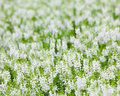 White flowers in outdoor parks Royalty Free Stock Photos