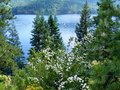 White flowers and pines in front of lake scenic wildflowers pine trees were this pretty idaho Royalty Free Stock Image